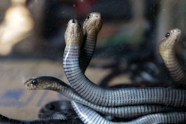 Menanggulangi Gangguan Kobra Jawa Naja Sputatrix Dinas