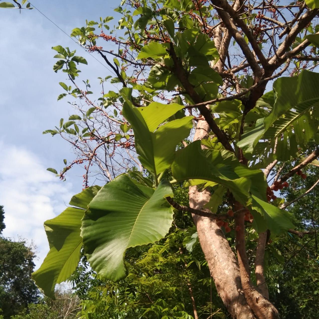 Seri Pohon Langka: Sempu