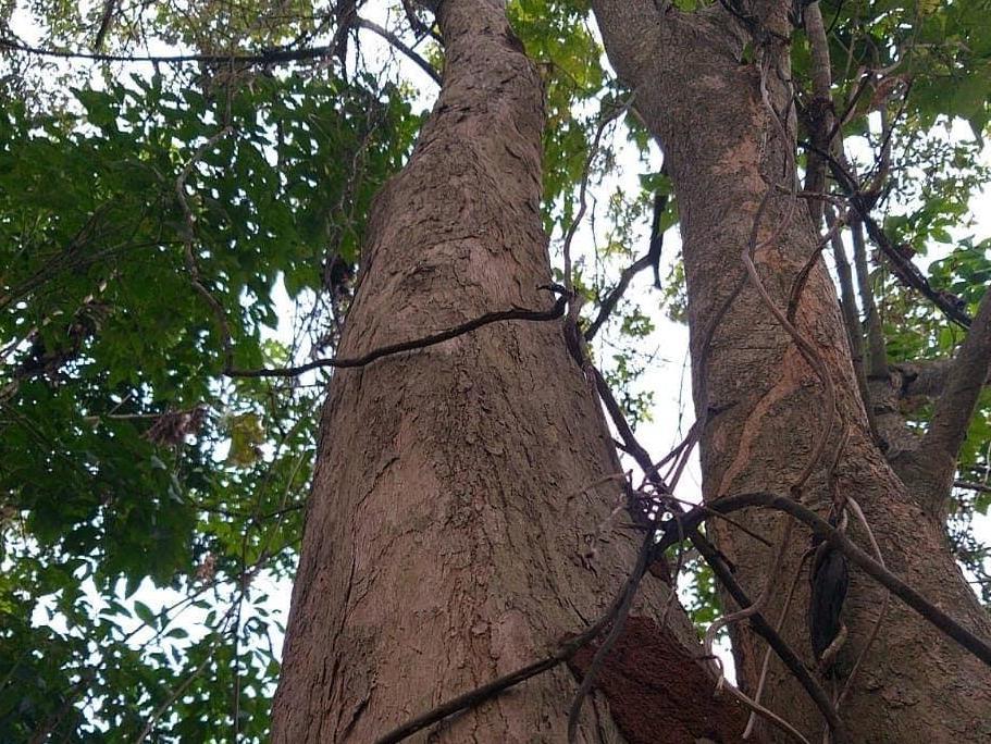 Seri Pohon Langka: Laban