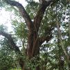 Seri Pohon Langka: Unut