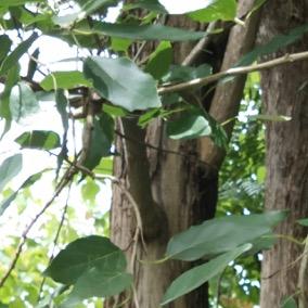Seri Pohon Langka: Kendal