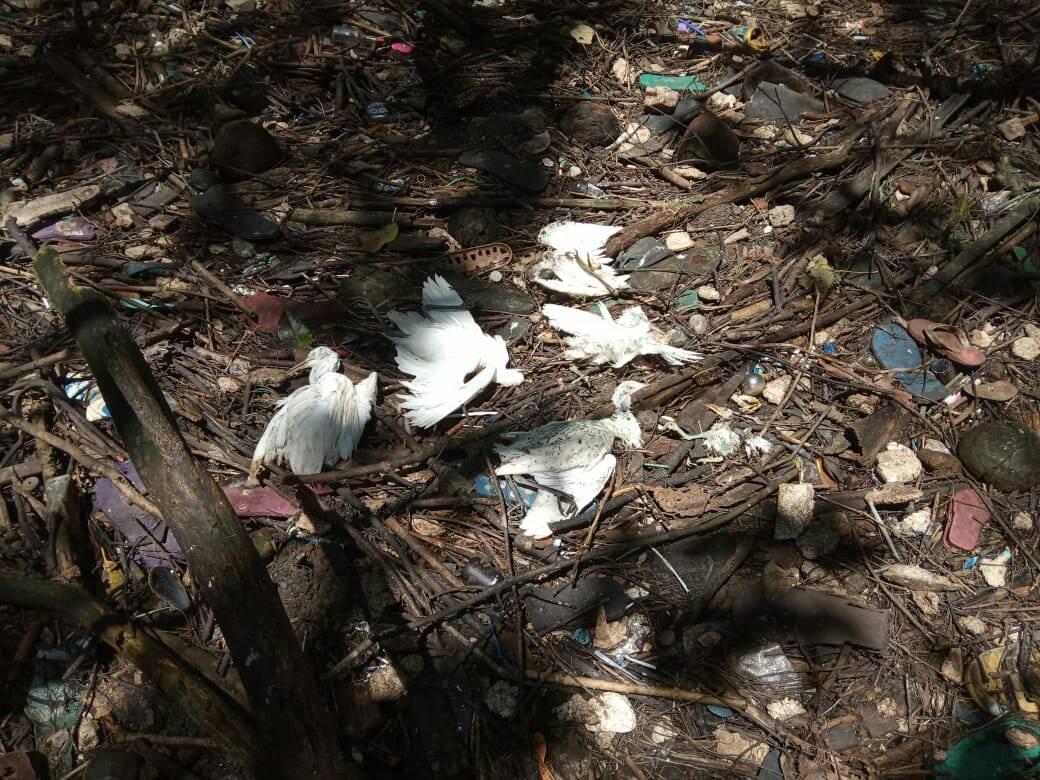 Kematian Massal Burung Kuntul Kerbau di Hutan Mangrove Baros