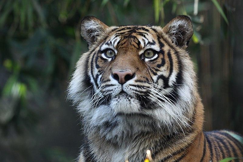 Cerita Kepunahan Harimau